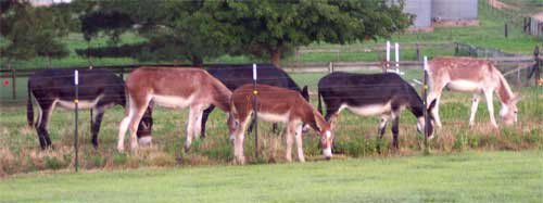 A pasture full of donkeys